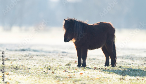 One dark brown pony standing in meadow on cold winter morning.