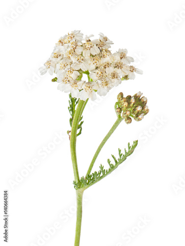 Yarrow (Achillea millefolium) on a white background close-up.
