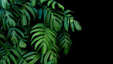 Green leaves of Monstera plant growing in wild, the tropical forest plant, evergreen vine on black background. - 140667942