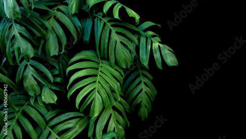 Foto Murales Green leaves of Monstera plant growing in wild, the tropical forest plant, evergreen vine on black background.