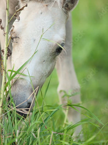 Poster portrait of welsh  pony  foal at pasture. close up