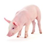 Pig on white. - 140709750