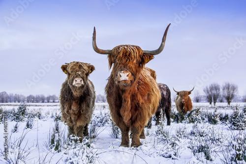 Scottish highlanders in a winter scenery