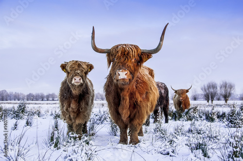 Scottish highlanders in a winter scenery Plakát