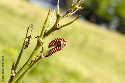 Papiers peints Nature Sint-Jacobs vlinder rups