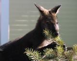 Kangaroo close-up keeping  pine branch