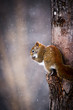 Squirrel in winter climbing and eating in tree