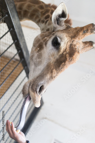 Poster Portrait of a giraffe with tongue