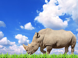 White rhinoceros and green grass