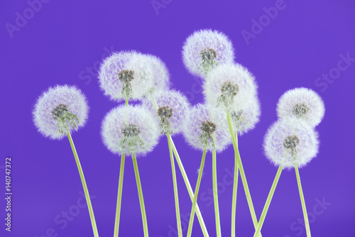 Foto op Canvas Violet Dandelion flower on blue color background, group objects on blank space backdrop, nature and spring season concept.