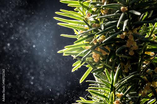 Dispersione del polline di un albero sempreverde