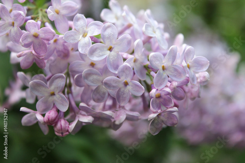 Foto op Canvas Lilac Bunch of light purple lilac flowers