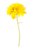 Yellow flover_1