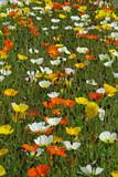 Pavots multicolores en prairie au printemps