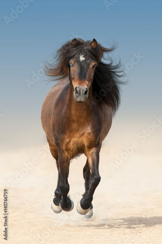 Poster Bay beautiful pony with long mane run fast in dust