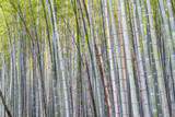 Bamboo Forest in Kyoto - Japan