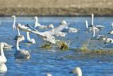 沼の白鳥たち