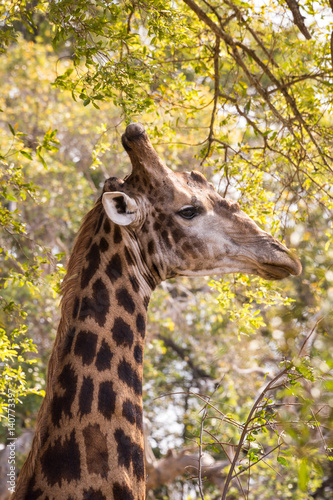 Poster Close-up of Giraffe's Head between Trees, South Africa, Africa