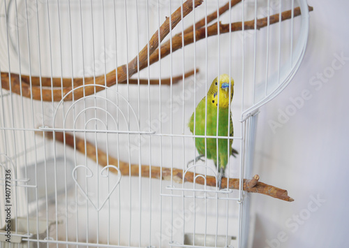 White cage with a bird on a white background. Wavy parrot in a cage.