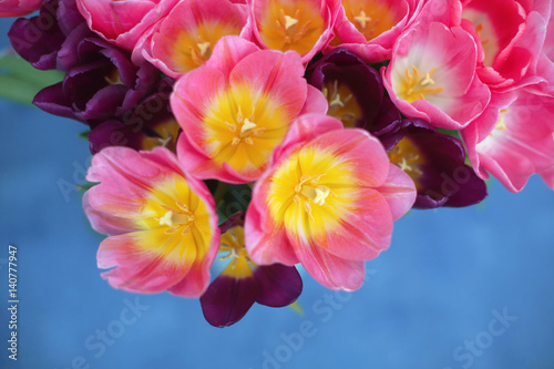Pink tulips flower isolated on blue background. A greetings card.