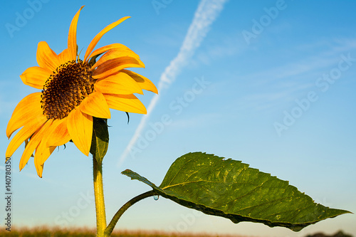 Sonnenblumen im Sonnenlicht