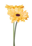 two gold gerbera flowers on white background