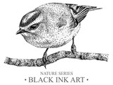 Illustration with bird goldcrest drawn by hand with black ink. Graphic drawing, pointillism technique. Floral element for design.