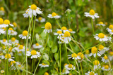 Blooming chamomile field. Beautiful nature scene with blooming medical chamomilles. Alternative medicine Spring Daisy. Selective focus.