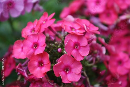 Deurstickers Roze Phlox pink