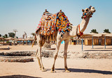 Camel standing to his full height, using for tourist trips to Hurghada, Egypt - 140790359