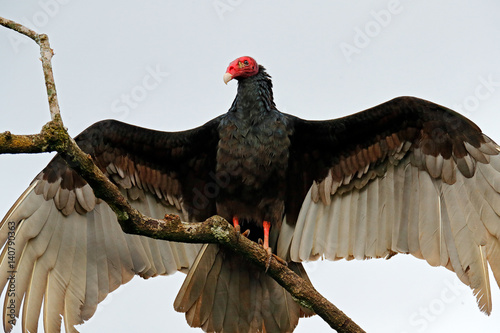 Poster Ugly black bird Turkey vulture, Cathartes aura, sitting on the tree, Costa Rica