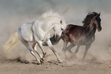 White and black horses run gallop in dust