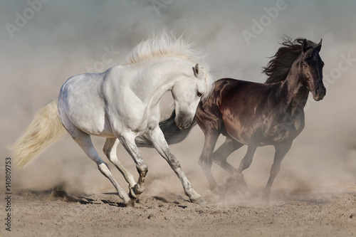 Poster White and black horses run gallop in dust