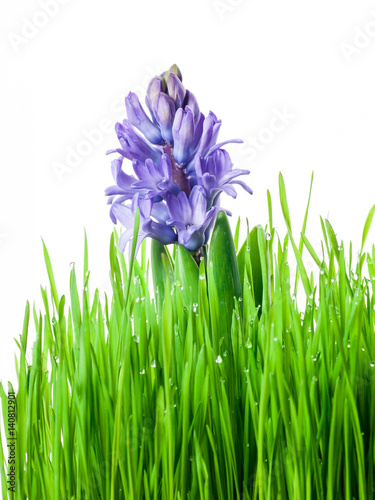hyacinth flower of spring