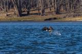 American Bald Eagle fishing in flight