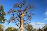 Baobab, Sambia