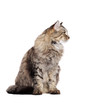 Grey fluffy sitting  cat looking to the side over white background