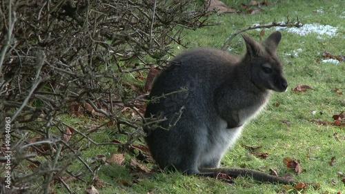 young kangaroo sitting by brush