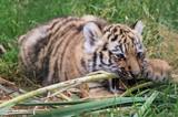 kleiner Amur Tigerspielt mit Gras