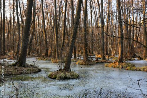 Fotobehang Lente wild swamp in spring forest