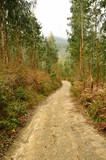 Eucalyptus forest with path