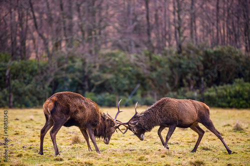 Butting Red deer