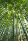 Tall bamboo trees at Arashiyama Bamboo Grove - Kyoto, Japan