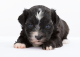 havanese dog puppy newborn on white background