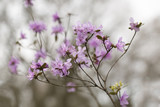 Rosa Azalee / Rhododendron - Frühe Sorte