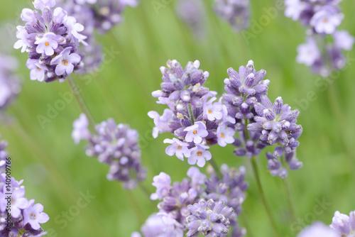 Fotobehang Purper lavender in the nature