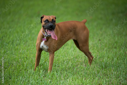 Beautiful female boxer dog outdoors