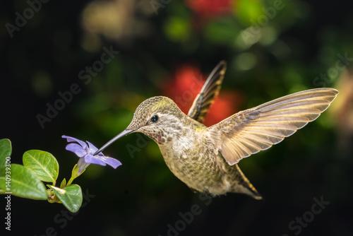 Kobiece hummingbird i mały niebieski kwiat lewo pod kątem widzenia