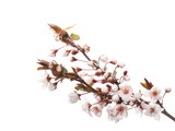 Cherry blossom branch, isolated on white background
