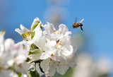 Bee on a flower of the white cherry blossoms